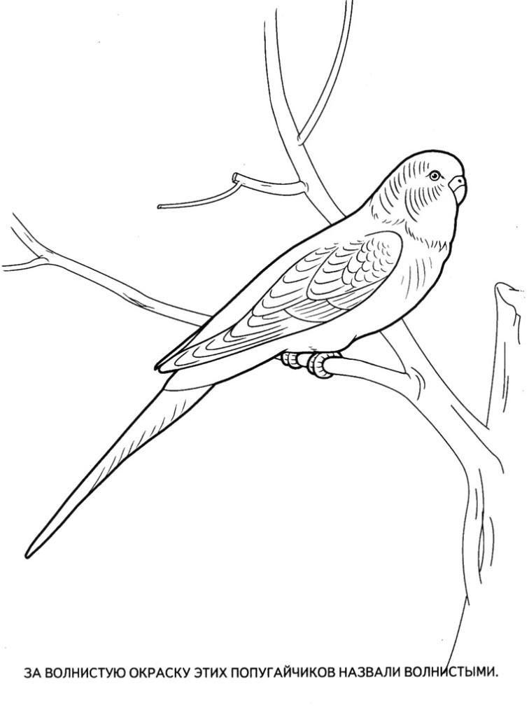 раскраска попугай край друзей